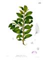 Ziziphus oenoplia Blanco2.433.png