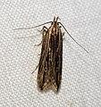 (0737) Monochroa palustrella (5890909333).jpg