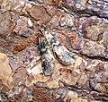 (1470) Euzophera pinguis (35670685260).jpg