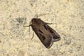 (2089) Heart & Dart (Agrotis exclamationis) (3634976041).jpg