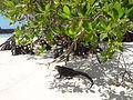 (Amblyrhynchus cristatus) Tortuga Bay, Island of Santa Cruz.JPG