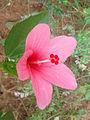 (Hibiscus liliiflorus) pink cultivator flower at Kakinada 04.jpg