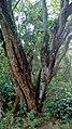 Ärbol en Jardín Botánico de Cali 01.jpg