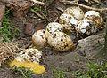 Œufs de dinde de Ronquières J2.jpg