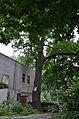 Багатовікове дерево дуба звичайного, вул. Вишгородська, 69.jpg