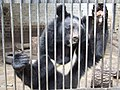 Гімалайський ведмідь Черкаський зоопарк.JPG