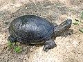Европейская болотная черепаха.11.jpg