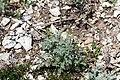 Заказник Великоцький Artemisia santonica.jpg