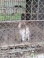 Макак резус 1 (Penza Zoo 2016).jpg