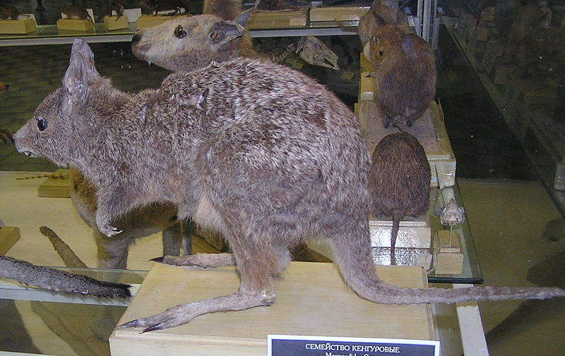 File:Обыкновеный заячий кенгуру.jpg