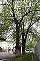 Ясени Тотлебена біля заводу Арсенал 03.jpg