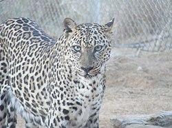 Арабський леопард