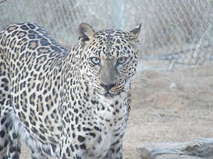 Arabian leopard - Arabian leopard in the Breeding Centre for Endangered Arabian Wildlife, Sharjah