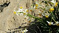 נרקיסים בנחל חצץ - OVEDC - 06.jpg