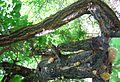 سمغ ( شيره ) درخت زردآلو - panoramio.jpg