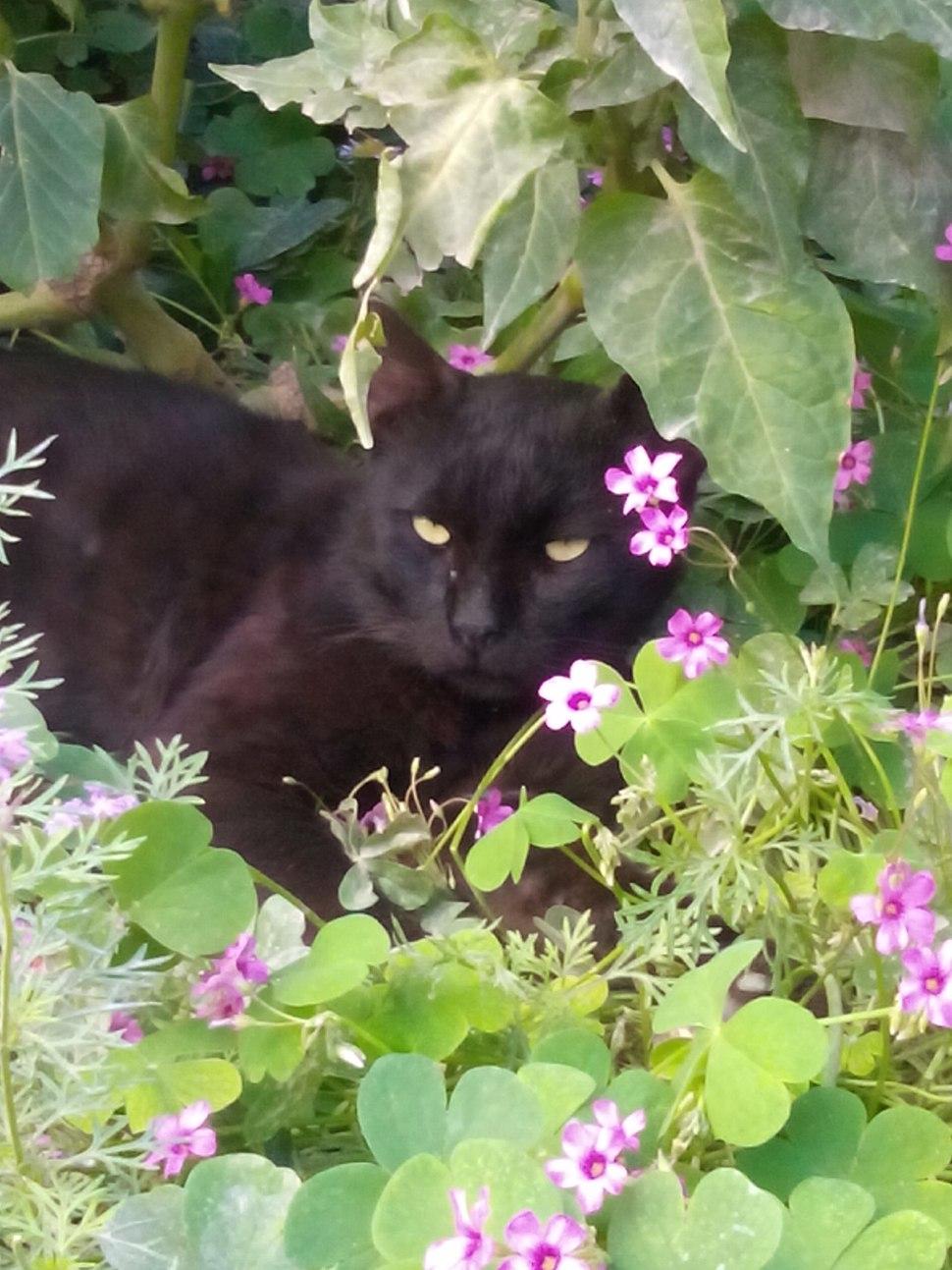 قط أسود