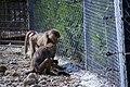 مجموعه عکس از رفتار میمون ها در باغ وحش تفلیس- گرجستان 15.jpg
