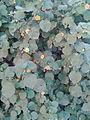 துத்திக் கீரை 4 (Abutilon indicum).jpg