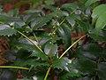 ヒイラギナンテンの花序 Lealherleaf holly grope shrubs 2013.3.17 - panoramio.jpg