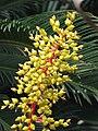 光萼荷屬 Aechmea ramosa -上海植物園 Shanghai Botanical Garden- (17330745811).jpg
