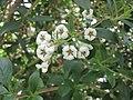 南鼠刺 Escallonia Caroline -倫敦植物園 Kew Gardens, London- (9237498125).jpg