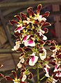 圍柱蘭屬 Encyclia Shinfong Smile -台南國際蘭展 Taiwan International Orchid Show- (40799684832).jpg