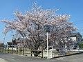 橿原市四分町にて Cherry tree in Shibu-chō 2012.4.12 - panoramio.jpg