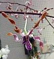 石斛蘭 Dendrobium Autumn Lace 'Florida Twist' -香港沙田洋蘭展 Shatin Orchid Show, Hong Kong- (30638198904).jpg