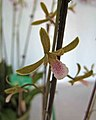 美冠蘭 Eulophia graminea -香港青松觀蘭花展 Tuen Mun, Hong Kong- (33995889830).jpg