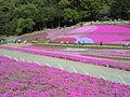 芝桜の丘(羊山公園).JPG