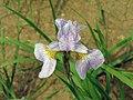 西伯利亞鳶尾 Iris sibirica Memphis Memory -瀋陽植物園 Shenyang Botanical Garden, China- (9323988241).jpg