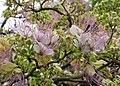 鈍葉魚木 Crateva trifoliata -香港天水圍 Tin Shui Wai, Hong Kong- (17667664258).jpg