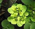 鏽毛金腰 Chrysosplenium davidianum -比利時 Ghent University Botanical Garden, Belgium- (9213355931).jpg
