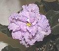 非洲紫羅蘭-噴點 Saintpaulia Perfect Angel -香港沙田紫羅蘭展 Shatin African Violet Show, Hong Kong- (11902903863).jpg