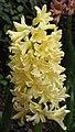 風信子 Hyacinthus hybrid -香港公園 Hong Kong Park- (9213350369).jpg
