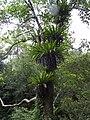 鳥巢蕨 Asplenium nidus - panoramio.jpg