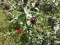 -گلهای آغلاغان میاندواب - panoramio.jpg