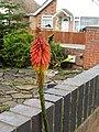 -2020-10-15 Red hot poker flower (Kniphofia), Trimingham, Norfolk (4).JPG