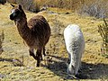 025 Alpacas Puno Peru 3292 (15142155885).jpg