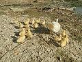 04474jfDomesticated ducks Water Pescadores Poblacion Candaba Pampangafvf 03.JPG