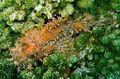 07-EastTimor-Advanced Dive-05 33 (Scorpion Fish)-APiazza.JPG