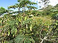 09-05-2017 Gum arabic (Acacia nilotica) seedpods (2).JPG