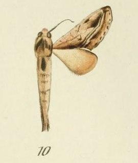 <i>Scalmicauda tessmanni</i> Species of moth
