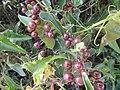 11-04-2017 Rough Bindweed Fruit Red Berries (Smilax aspera), Vale de Santa Maria (2).JPG