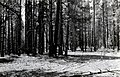 1924. Trees tagged for cutting and insect control work. Kaibab National Forest, Arizona. (37510643954).jpg