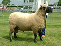 2006 Ram of the Year (Clun Forest breed).jpg