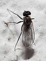 2010-06-19 Diptera b.jpg