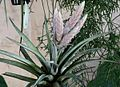 20100619 T chiapensis mexico.jpg