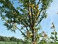 20110716Prunus cerasifera Hockenheim2.jpg