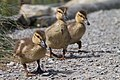 2012-366-162 Three Chicks (7360962764).jpg